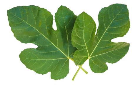 two fig leaves isolated on a white background